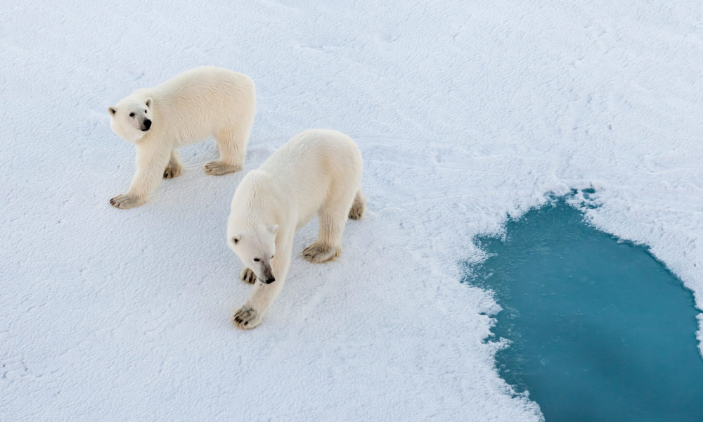 Eisbären in der Arktis