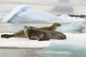 Seabourn und Robben in der AntarktisFoto: Seabourn Cruise Line
